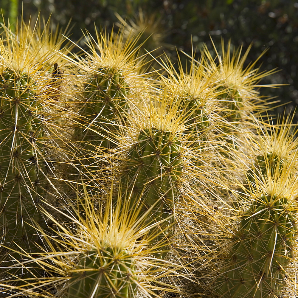 Golden Hedgehog Cactus
