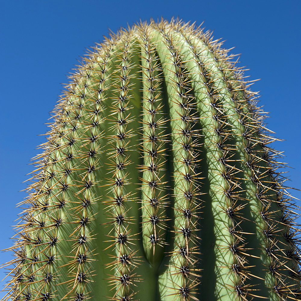 Close up of Saguaro Cactus