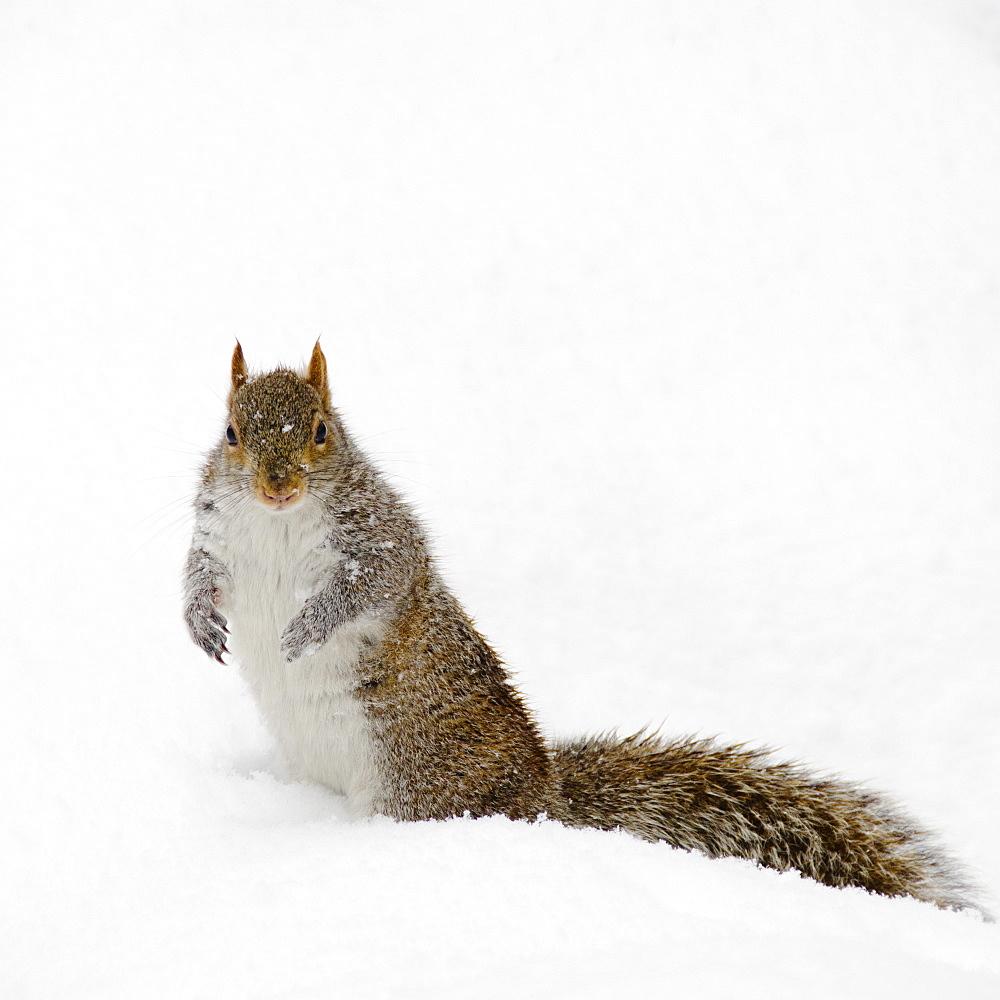 USA, New York, New York City, squirrel on snow