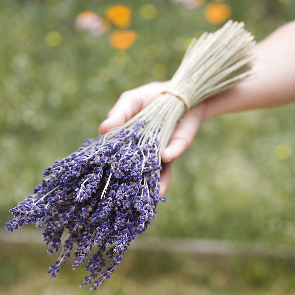 Hands holding a bunch of  lavender