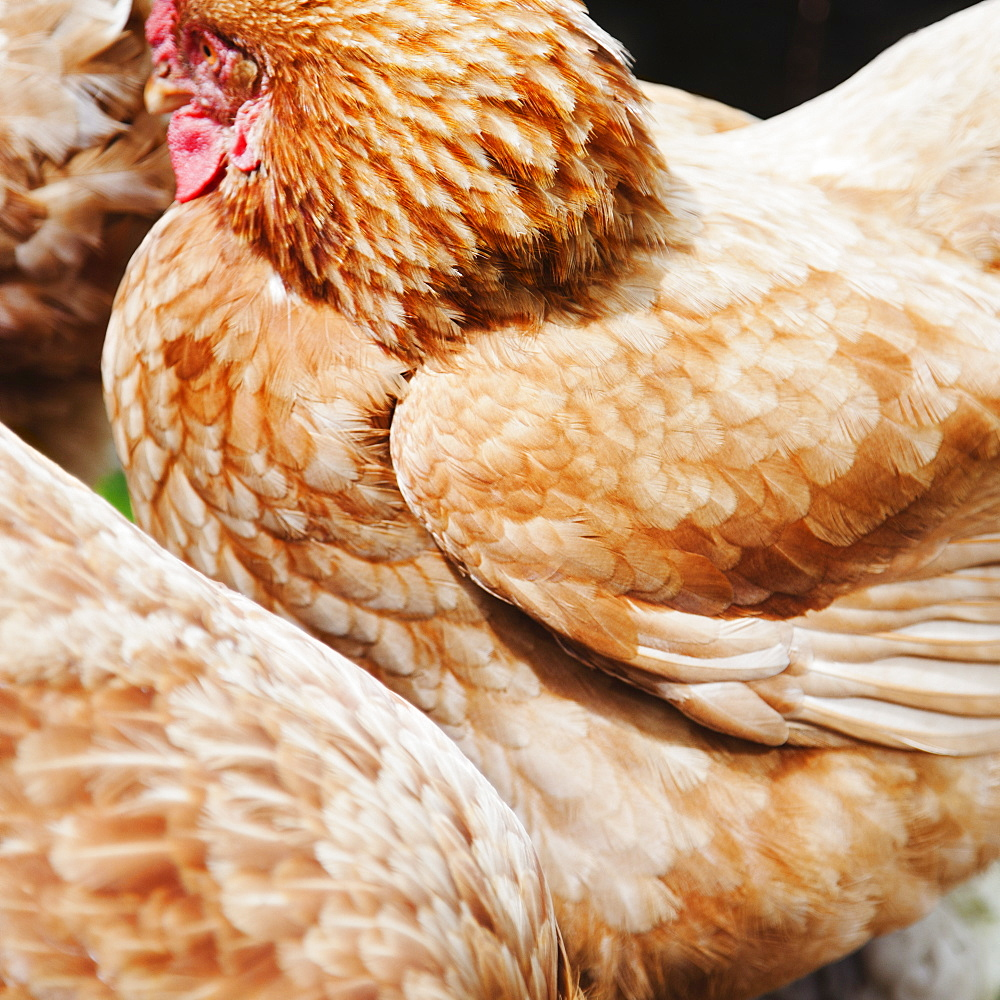 Close-up of hen