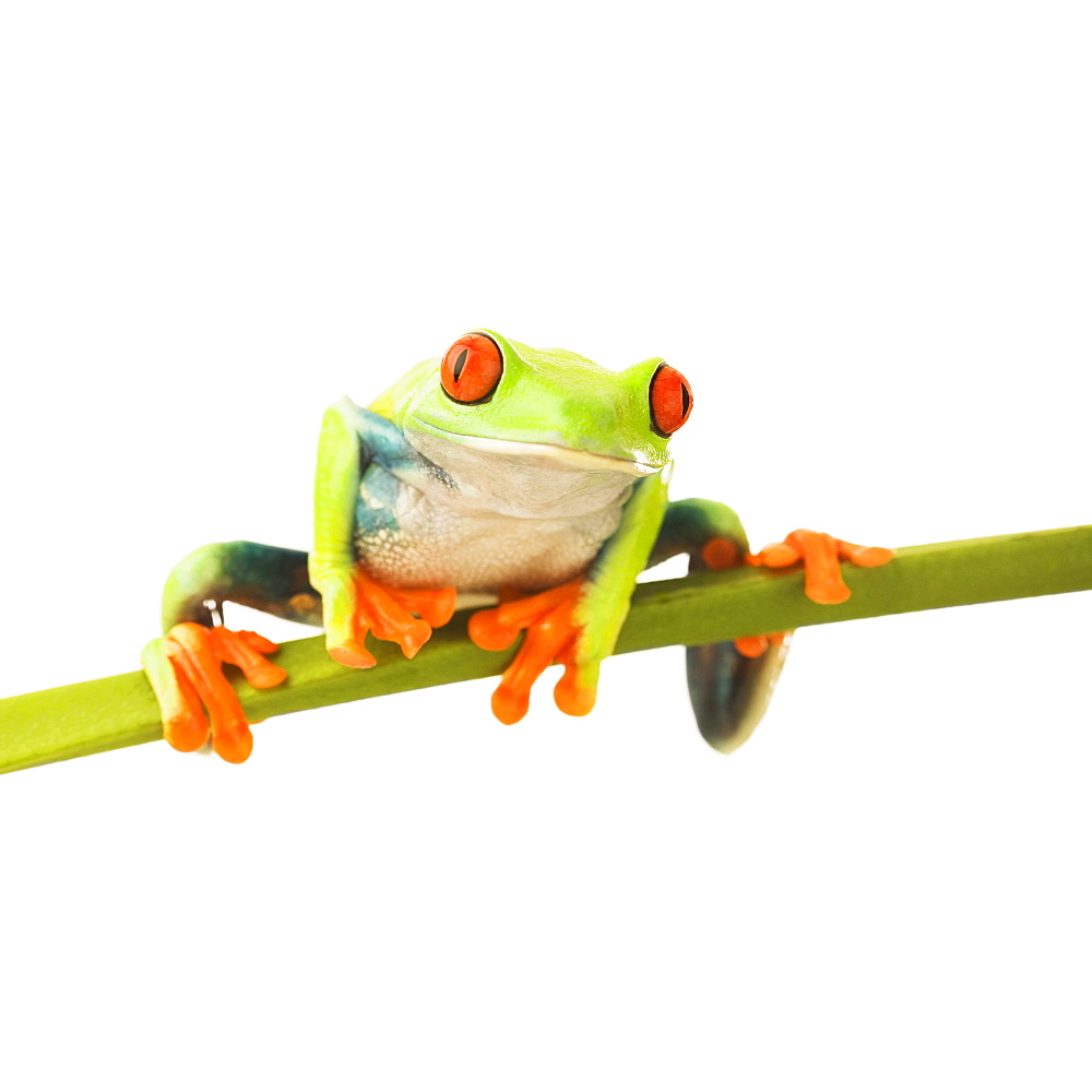 Tree frog on stem