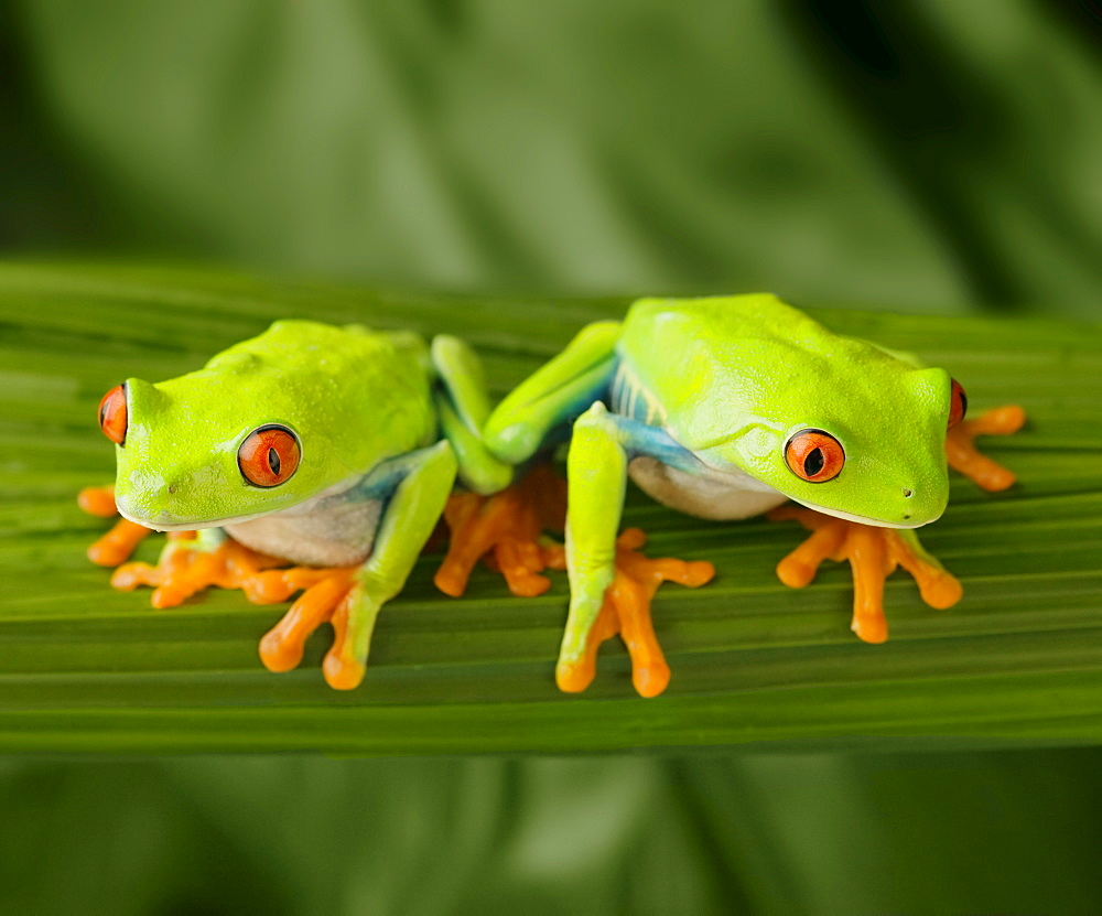 Tree frogs on leaf