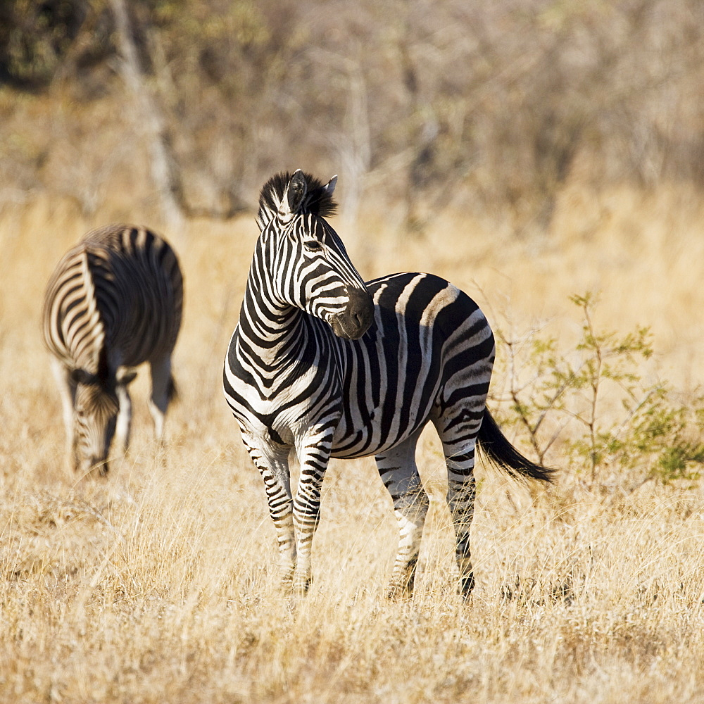 Zebras standing in grass