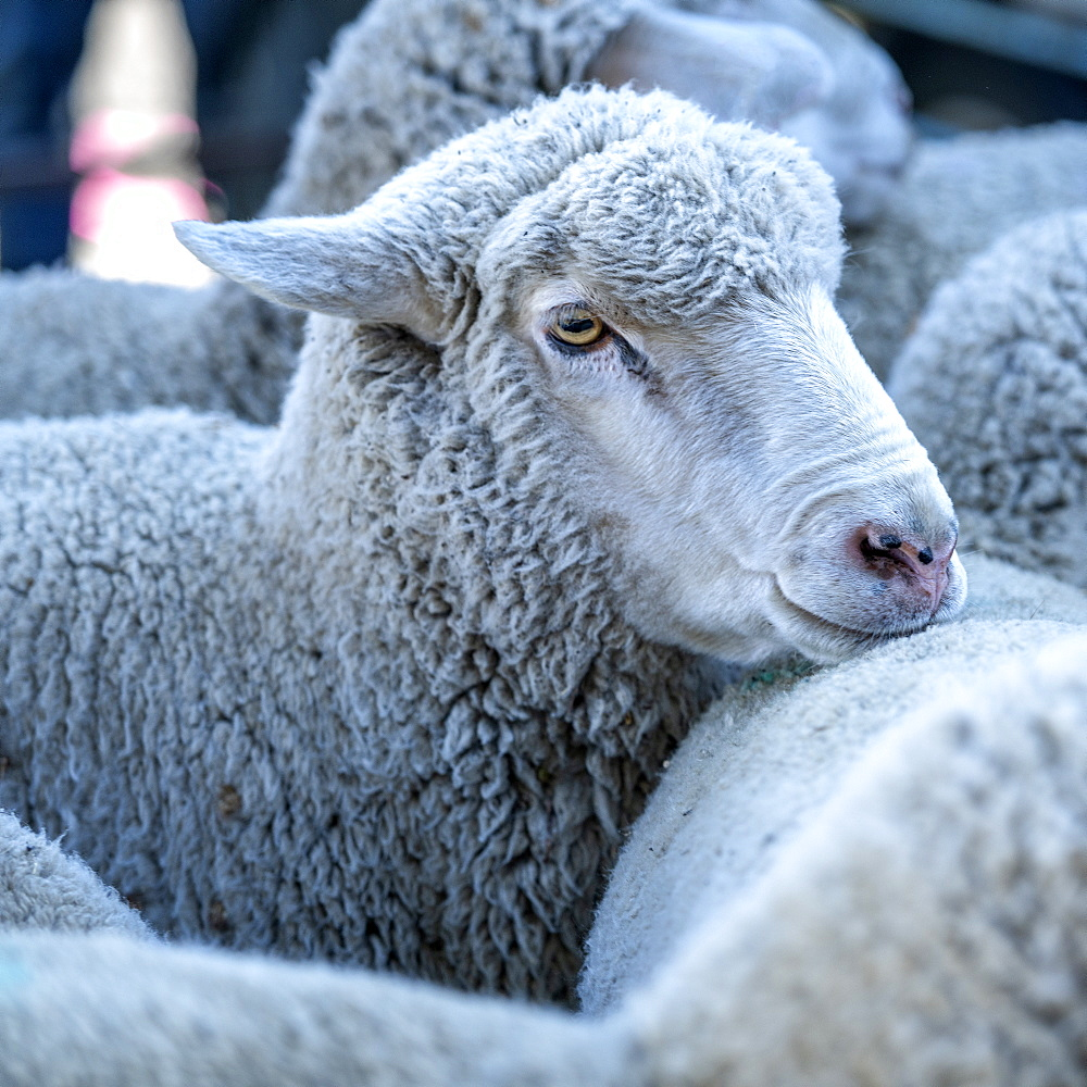 Sheep in Sun Valley, Idaho, United States of America