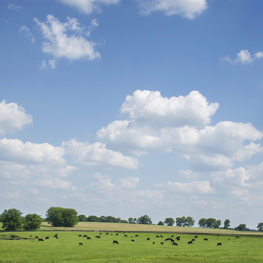 Cows in field
