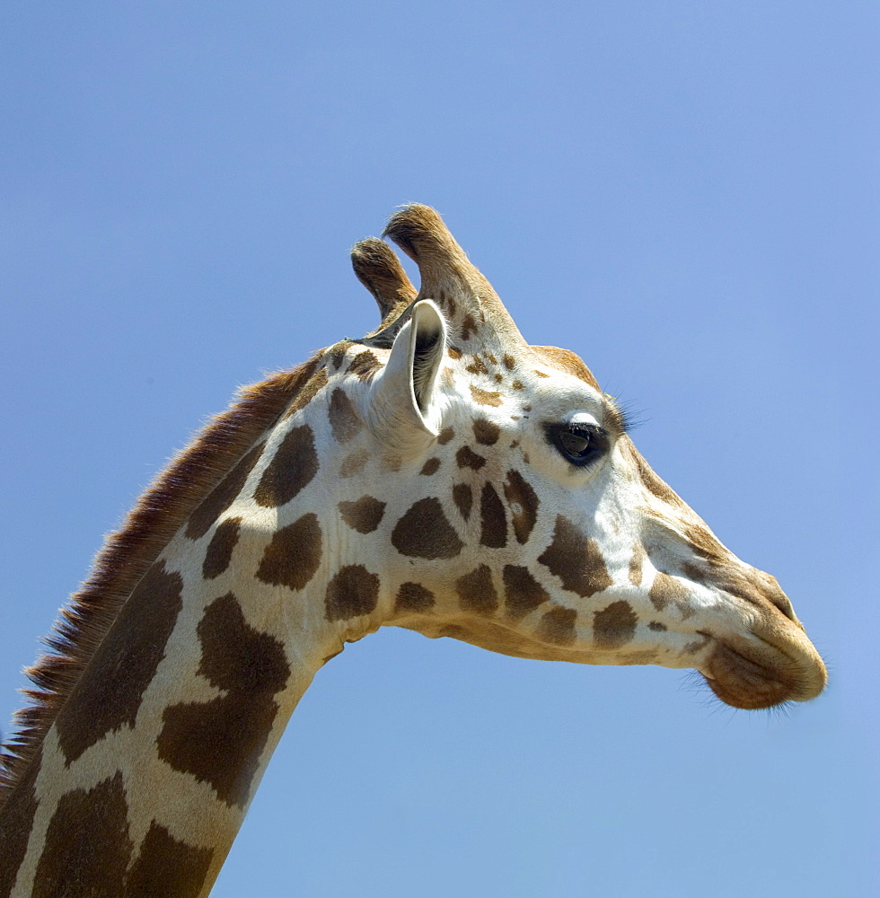 Profile of a giraffe's head
