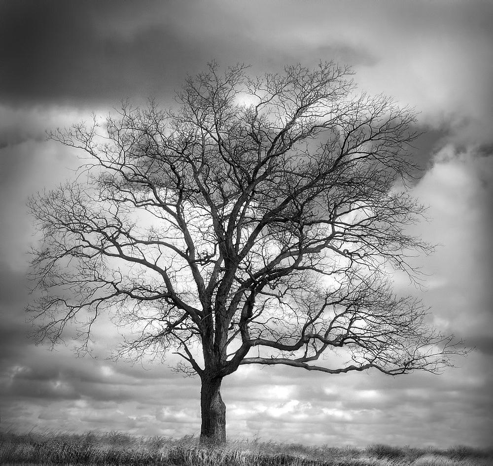USA, Bare tree against overcast sky