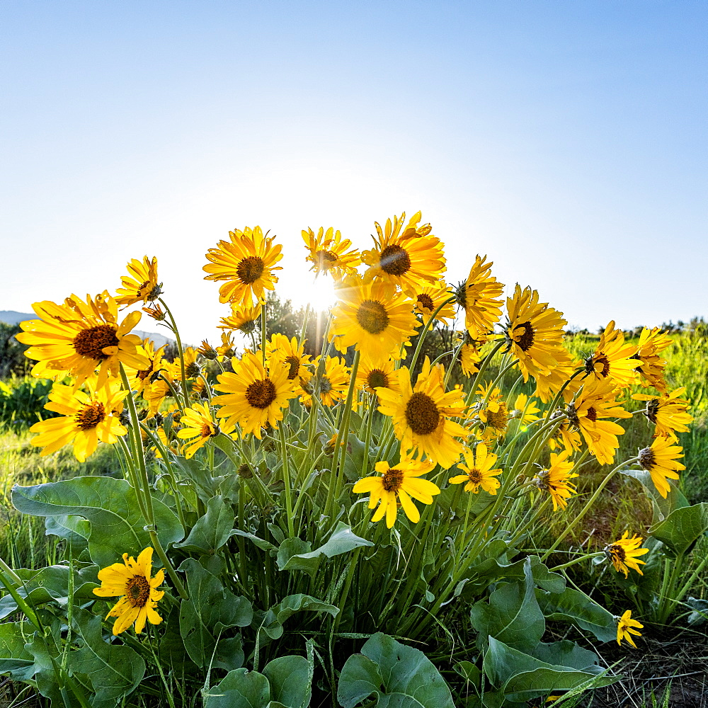 USA, Idaho, Boise, Arrowleaf Balsamroot in bloom