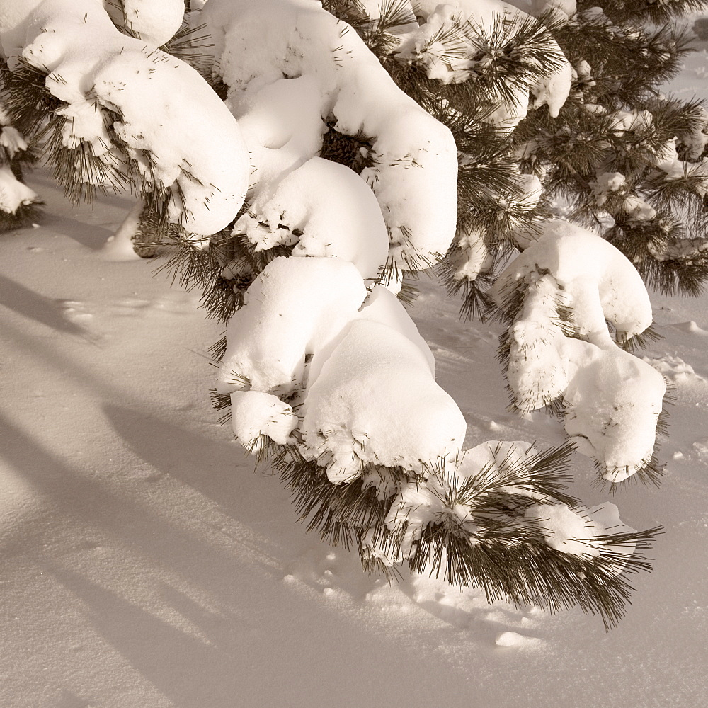 Closeup of snow covered pine boughs