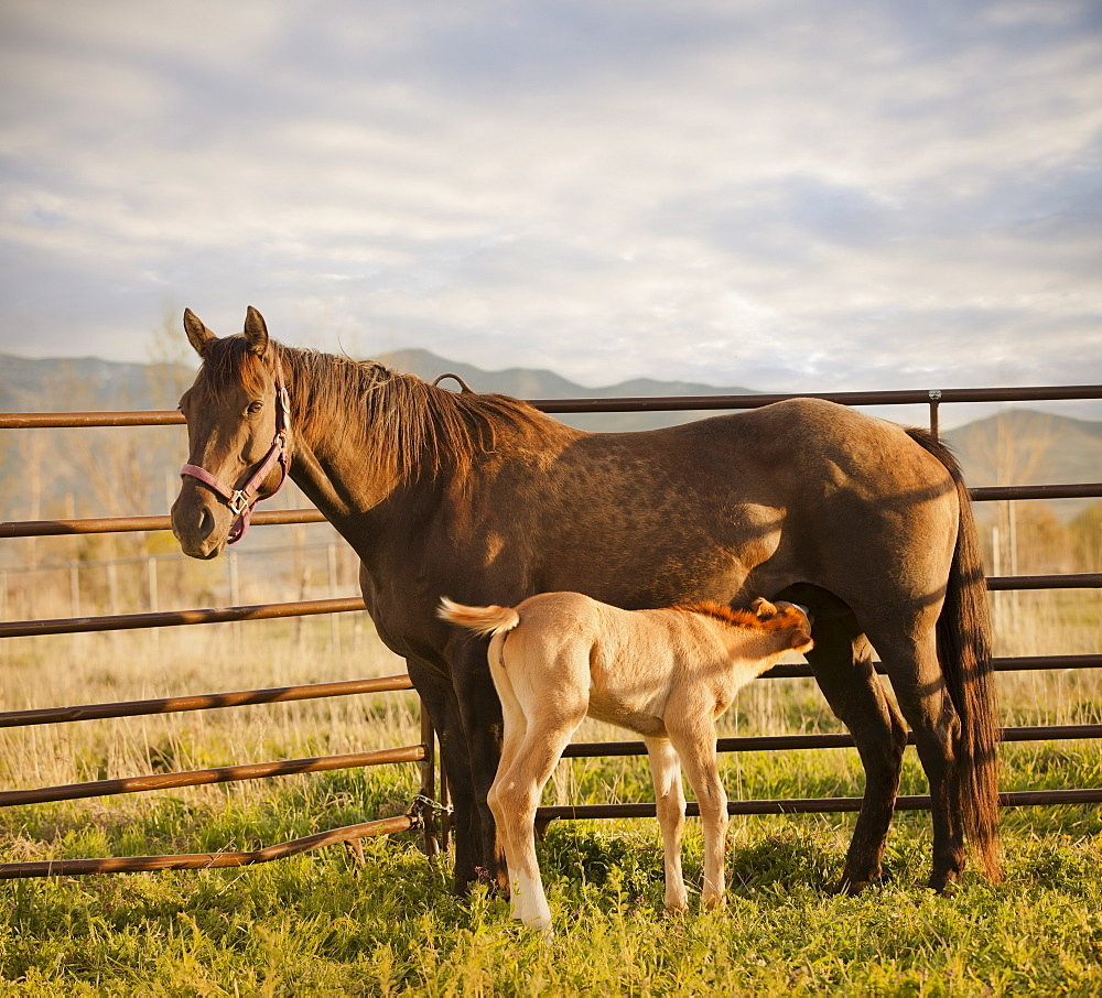 USA, Utah, Lehi, Foal with mother