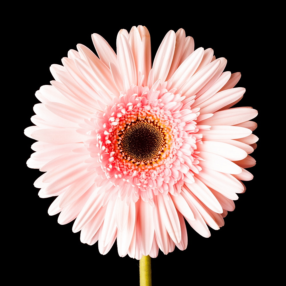 Close-up of pink daisy - 1178-825