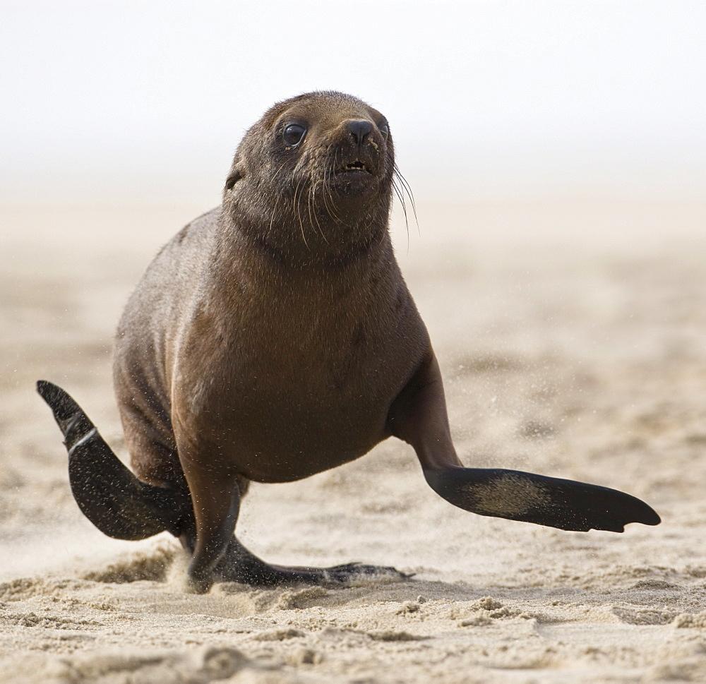 Seal running on beach