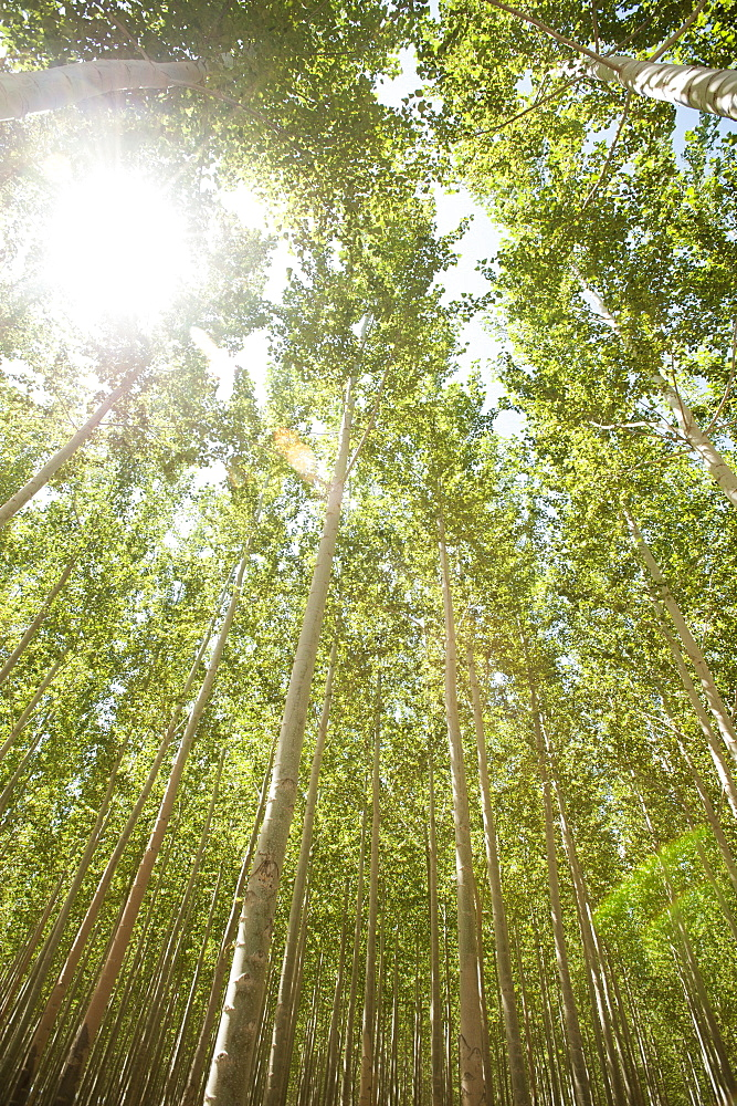 USA, Oregon, Boardman, Boplar trees in tree farm illuminated by bright sunshine