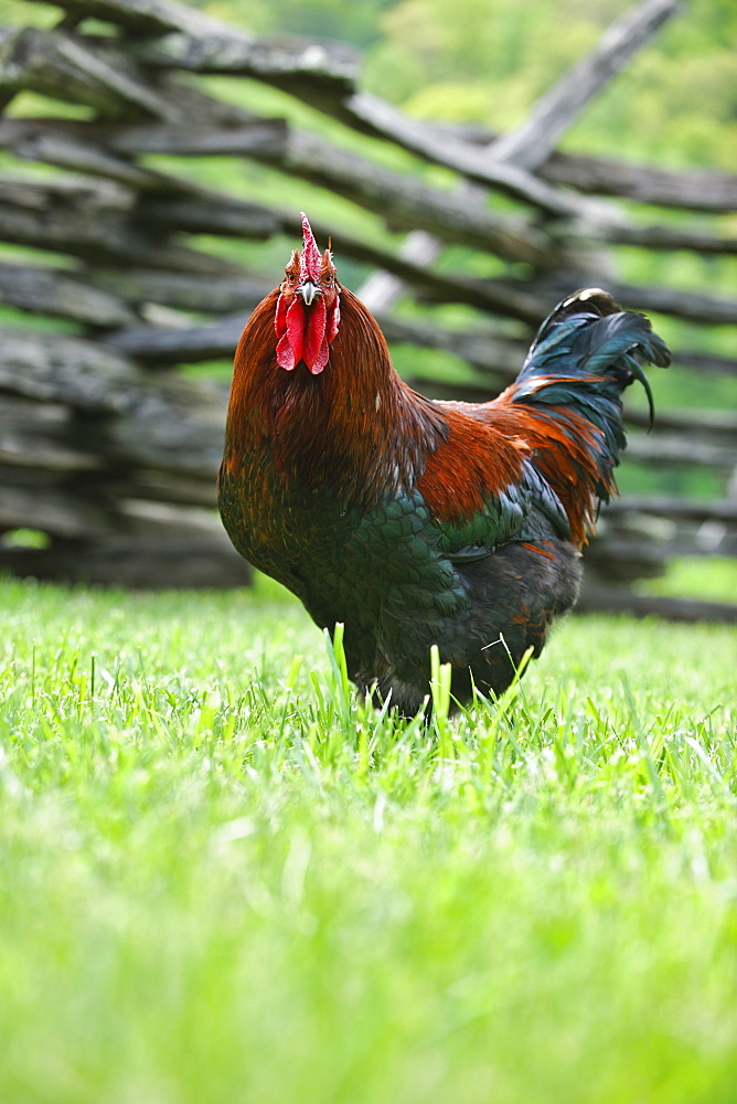 A rooster in a field near a fence