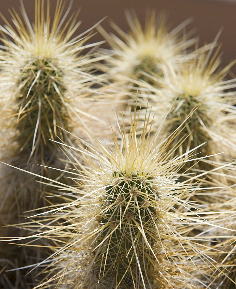 Close up of Cholla Cactus