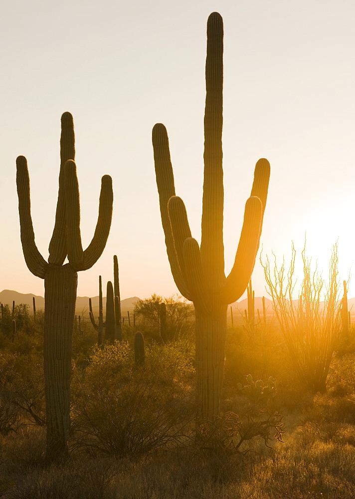 Sun shining on cactus plants, Saguaro National Park, Arizona