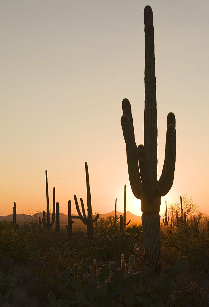 Sun behind cactus, Saguaro National Park, Arizona