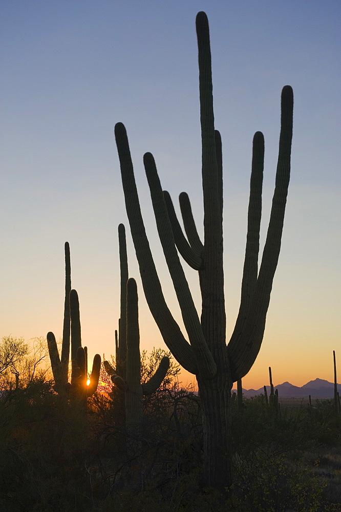Cactus plants, Saguaro National Park, Arizona