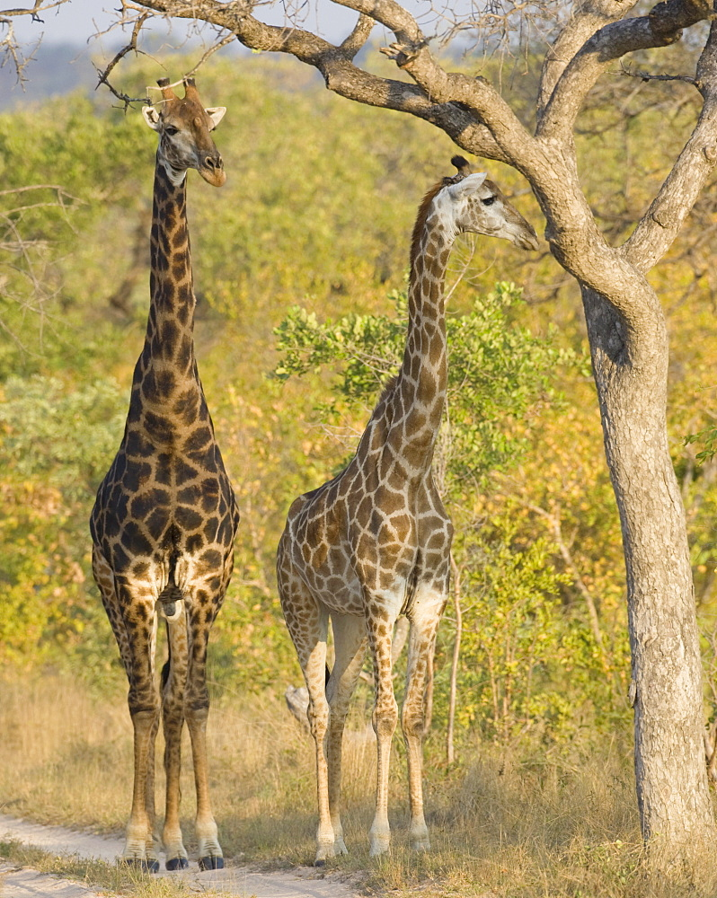 Giraffes standing under tree