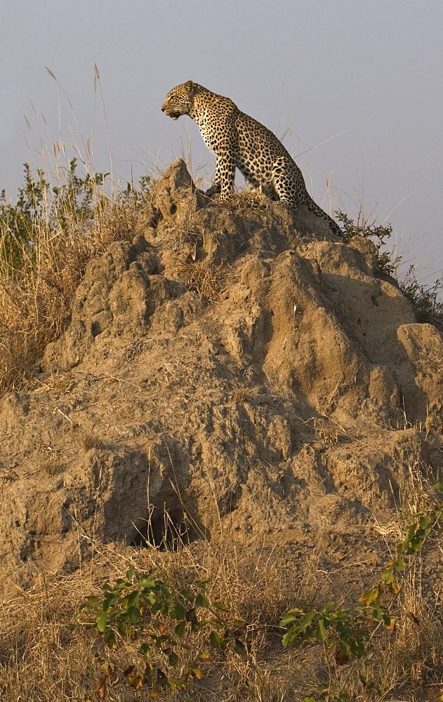 Leopard sitting dirt mount