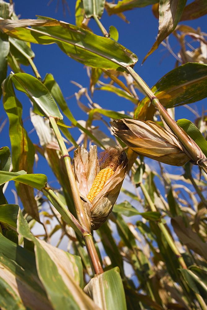 Close up of corn on stalks