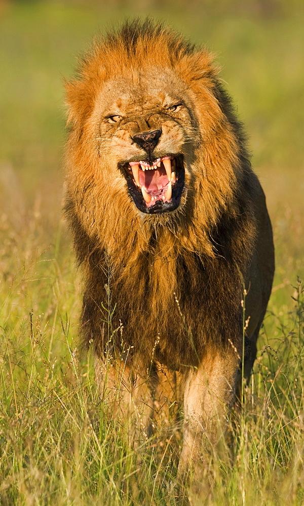 Male lion roaring, Greater Kruger National Park, South Africa