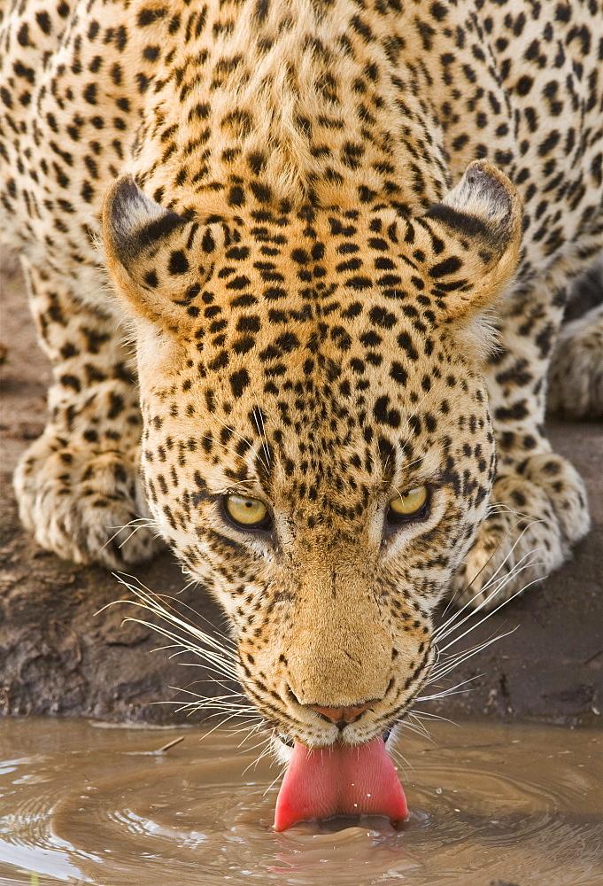 Leopard drinking, Greater Kruger National Park, South Africa