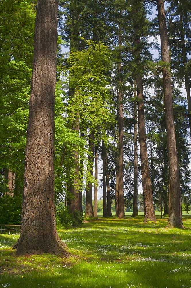 USA, Oregon, Fir trees forest