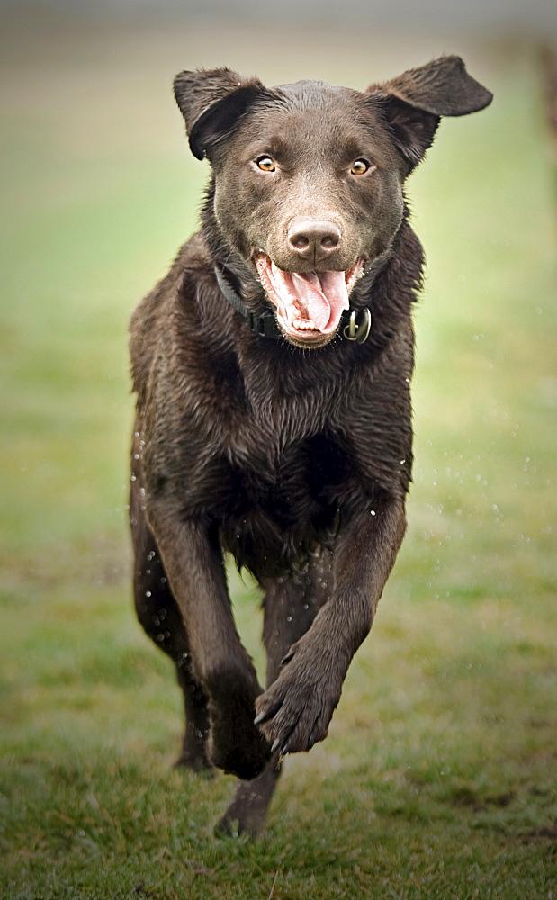 UK, Suffolk, Thetford Forest, Black dog running