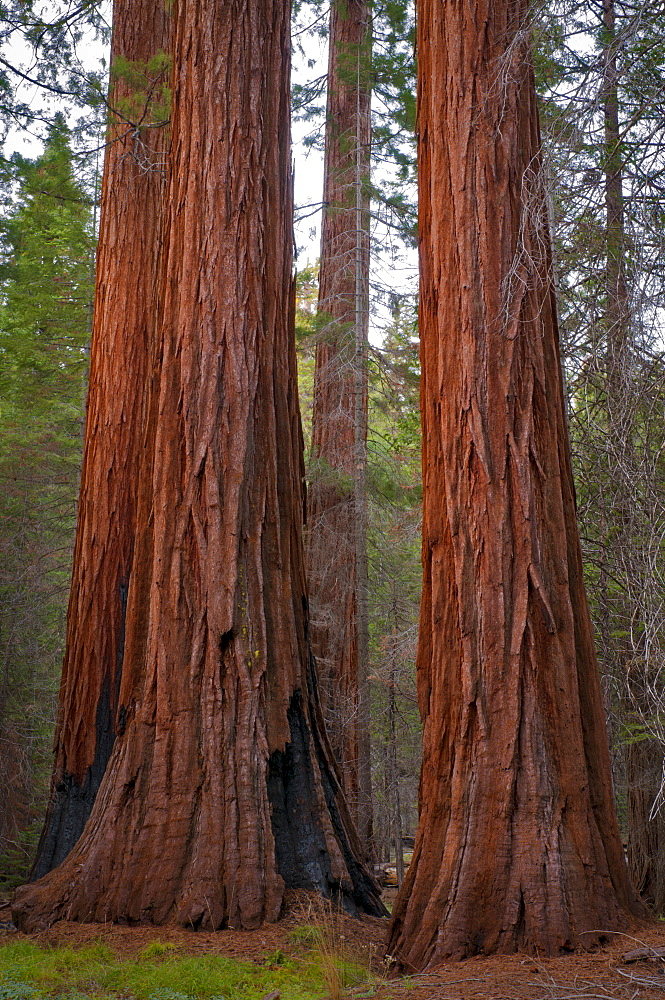 USA, California, close up of Sequoias