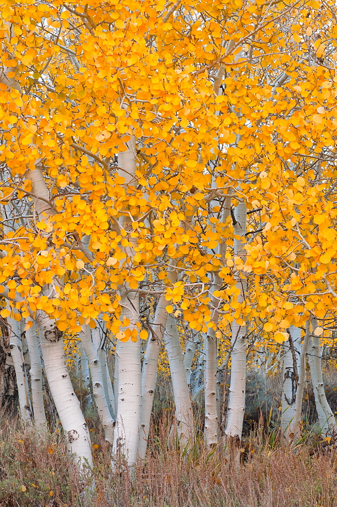USA, California, Aspen tree trunks