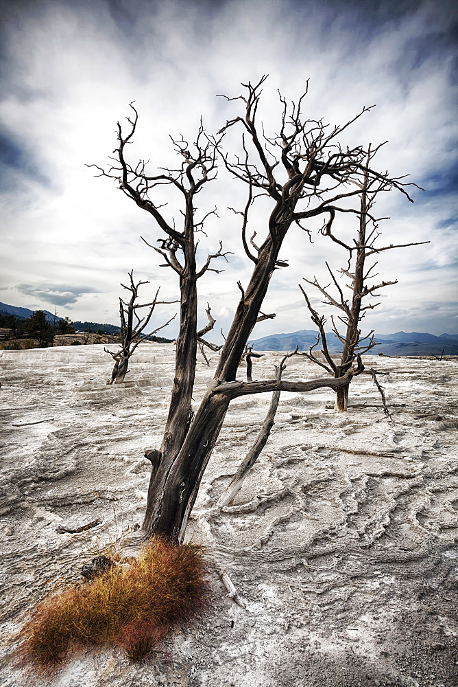 Dead tree and dry terrace at Canary Spring, Mammoth Hot Springs, Yellowstone National Park, Wyoming