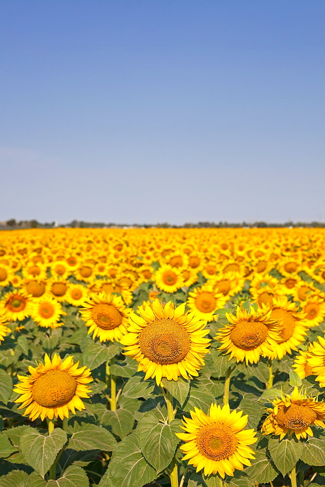 Filed full of sunflowers with blue sky, USA, Nebraska, Sidney