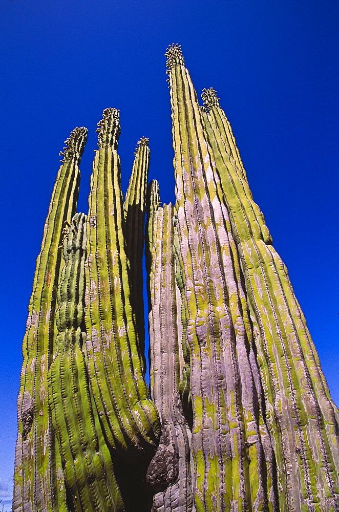 Mexico, Baja California, Cardon Cactus