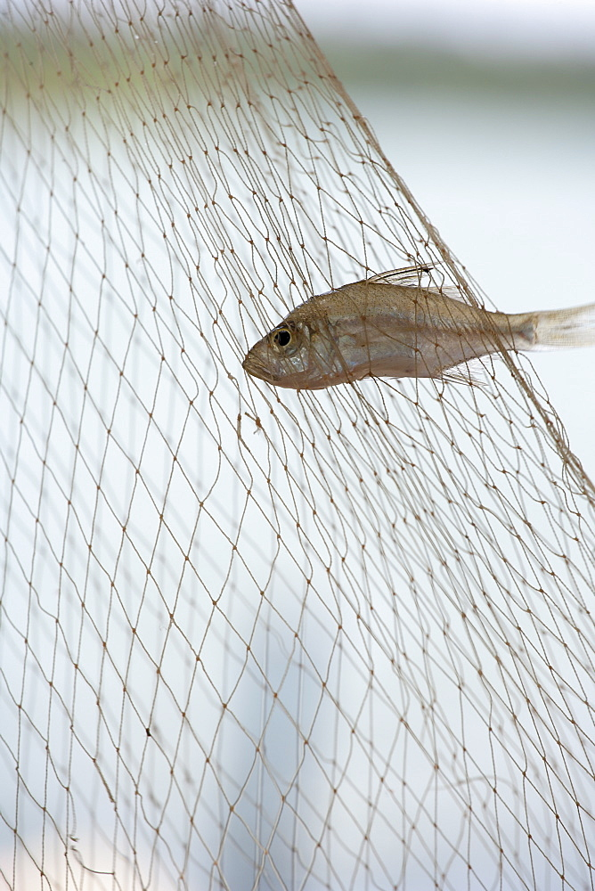 Small fish caught in net