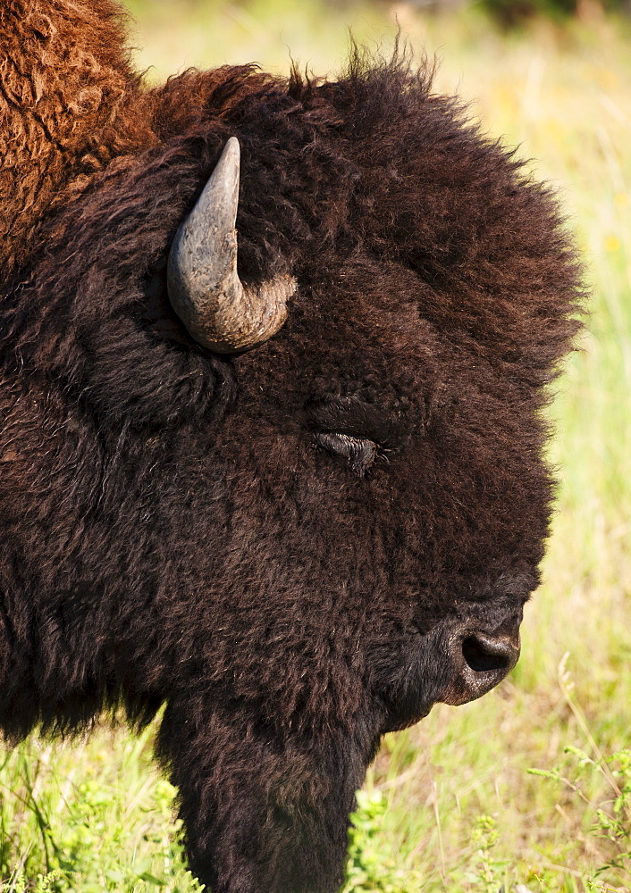 USA, South Dakota, American bison (Bison bison) in Custer State Park, headshot