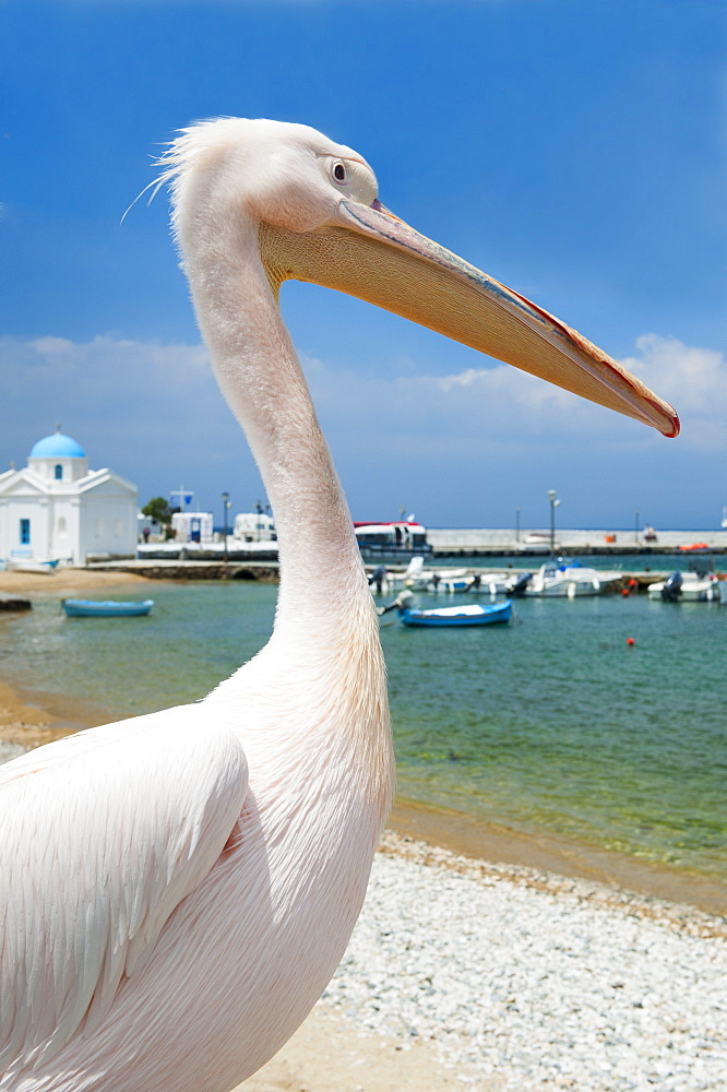 Greece, Cyclades Islands, Mykonos, Pelican on beach at harbor