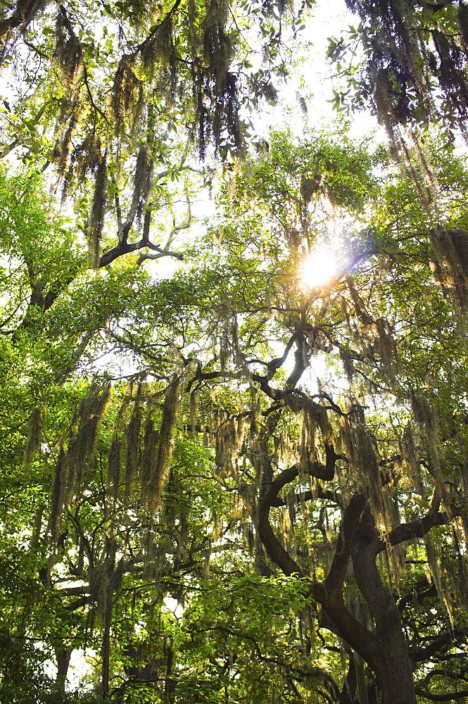 USA, Georgia, Savannah, Oak trees with spanish moss