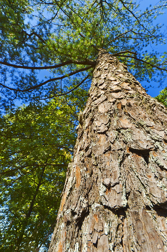 USA, Georgia, Stone Mountain, Low angle view of pine tree in forest