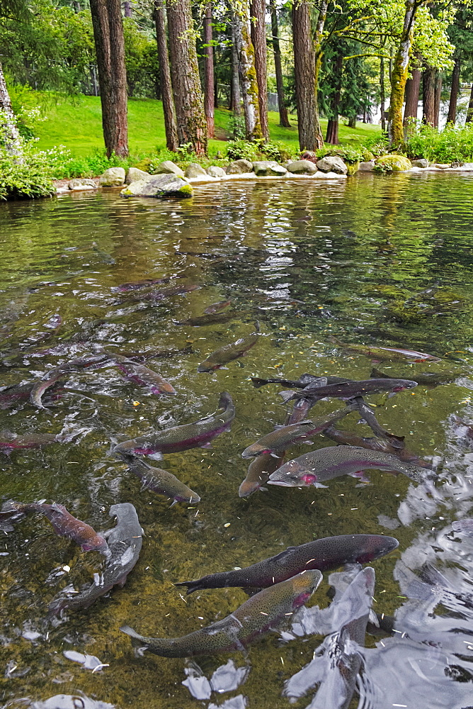 Rainbow trouts in forest pond, Bonneville Dam, Oregon