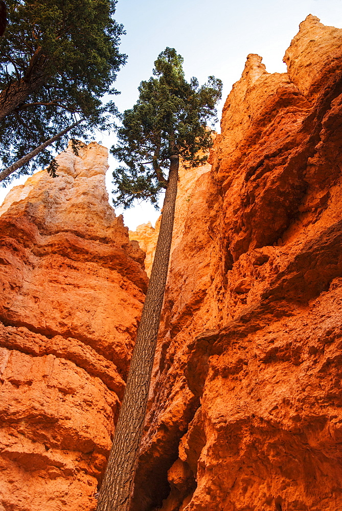 Navajo Loop Trail, Tall Douglas Fir trees, USA, Utah, Bryce Canyon