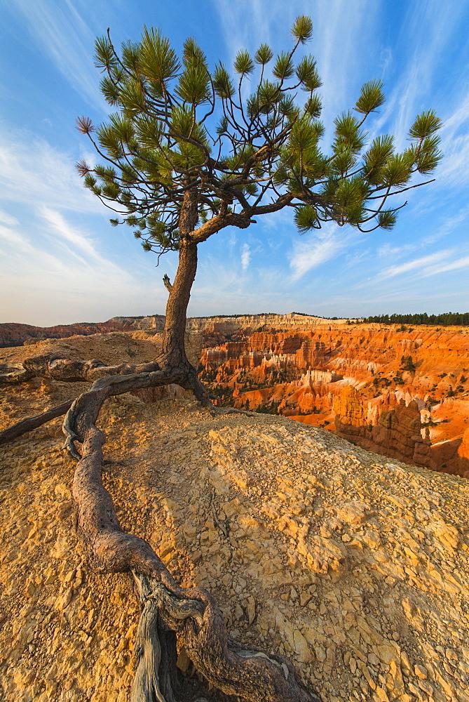 Ponderosa Pine at the edge of cliff, USA, Utah, Bryce Canyon