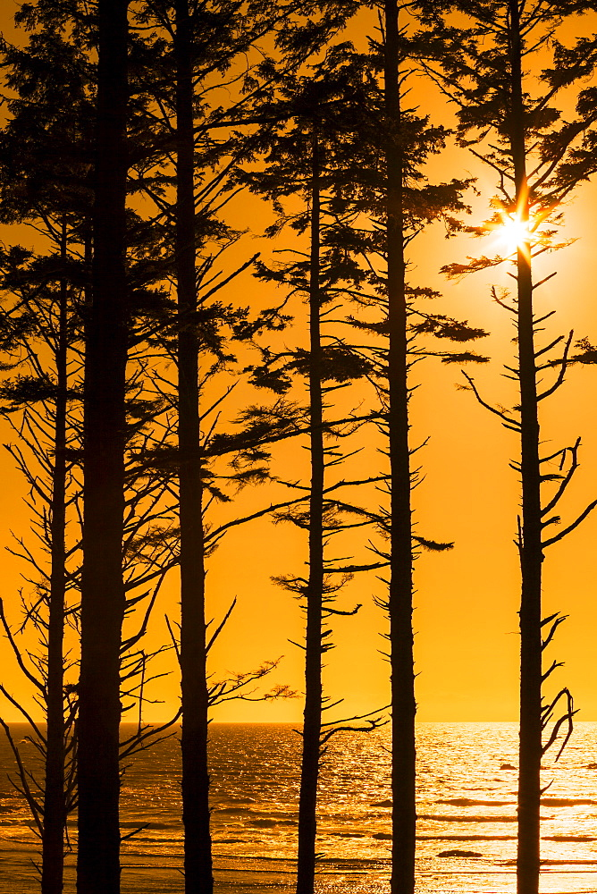 Silhouette of trees at sunset, Olympic National Park, Washington