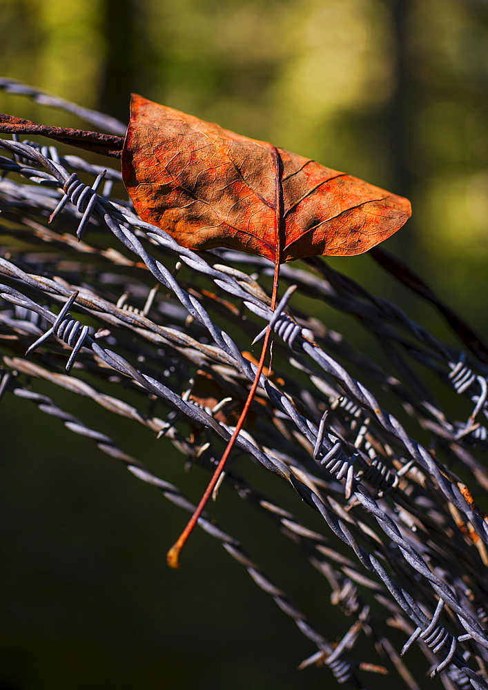 Leaf trapped in barbed wire, Catawba County, North Carolina