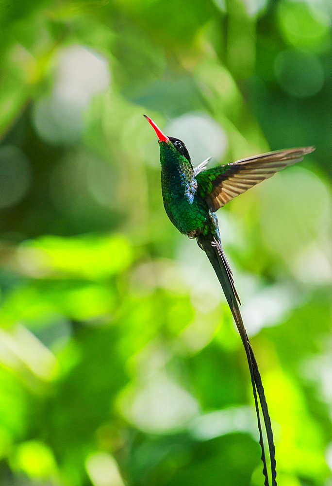 Hummingbird in flight, Jamaica