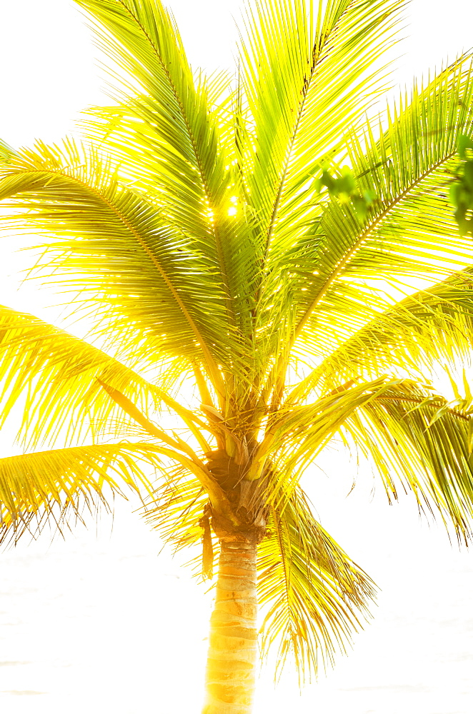 Palm tree, Jamaica