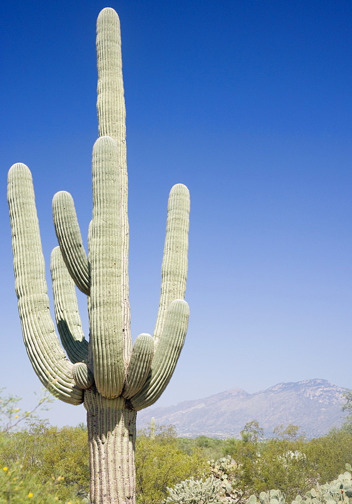 Cactus with mountain in background, Arizona, United States