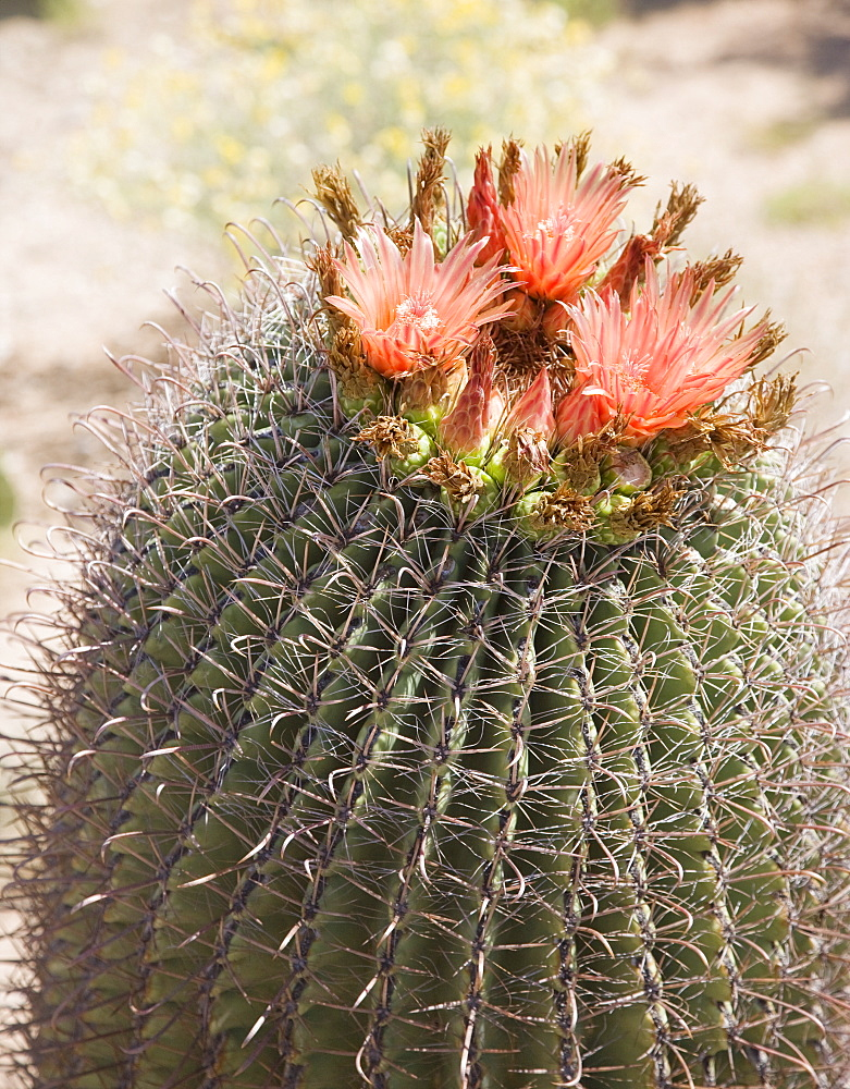 Close up of cactus with flowers, Arizona, United States