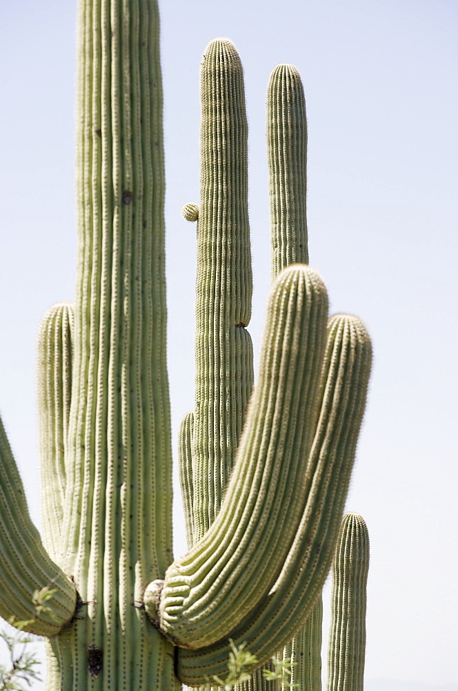 Cacti under blue sky, Arizona, United States